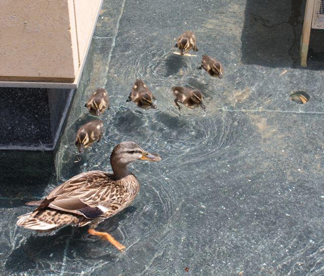 ducksfoxmg_0237