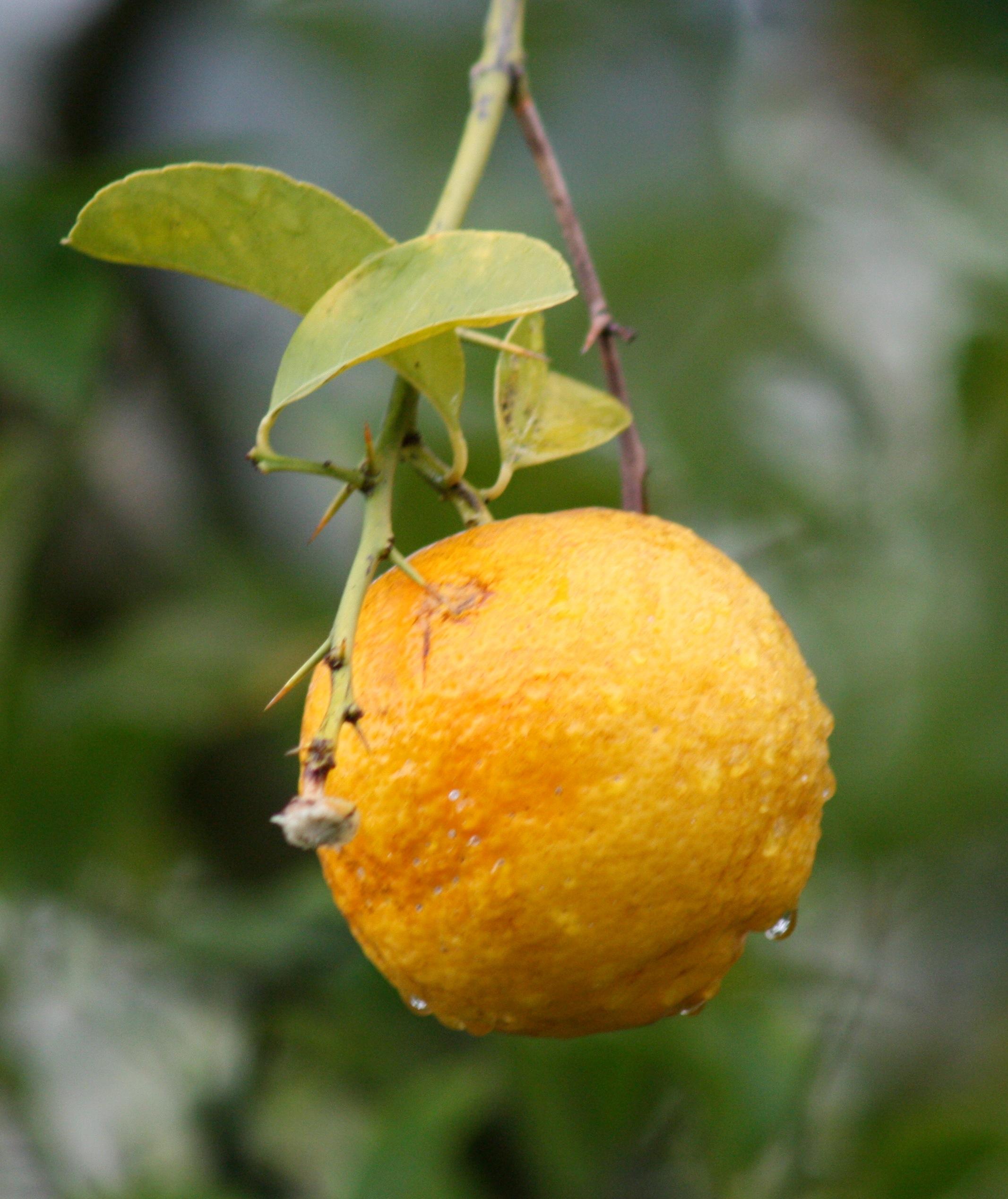 LemonOnTreeMG_2224_2
